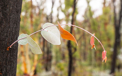 Fire-affected tree resprouting after Black Summer fires